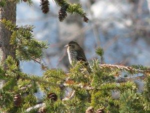Pine Sisken